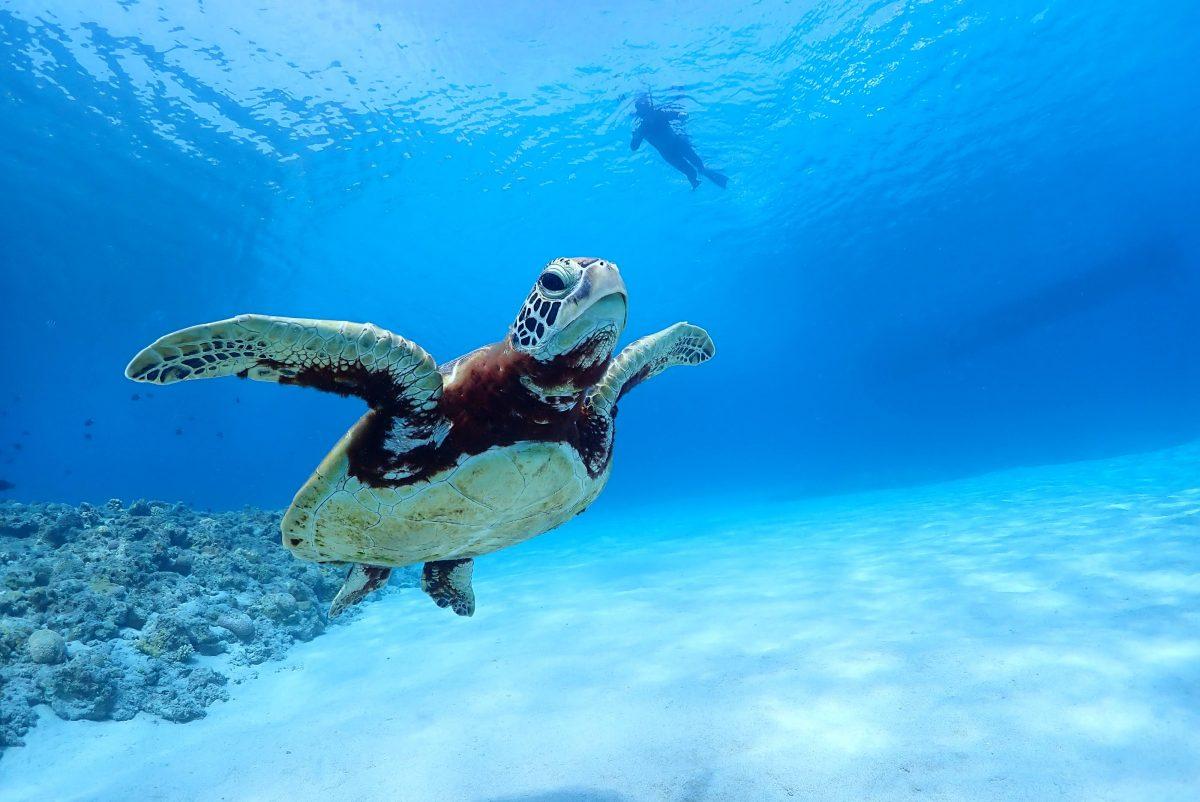 ダイビング ウミガメ